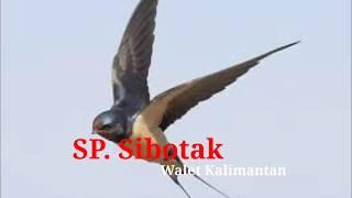 Download Mp3 Sp Sibotak | Suara Walet Kalimantan | Suara Walet Tv