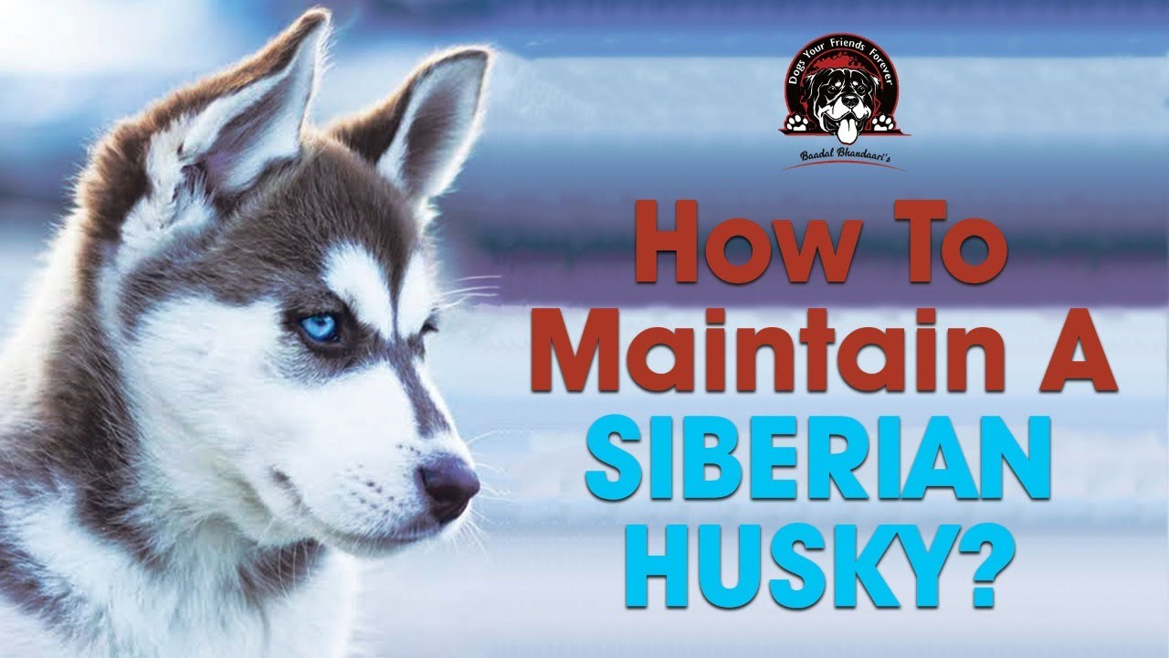 Challenges in maintaining a Siberian Husky! || By Baadal Bhandaari