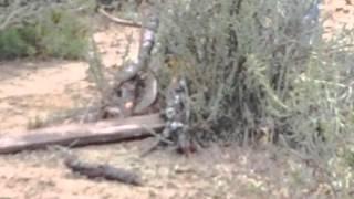 Matando una víbora de cascabel