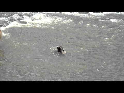 Baby elephant swimming (1 of 2)