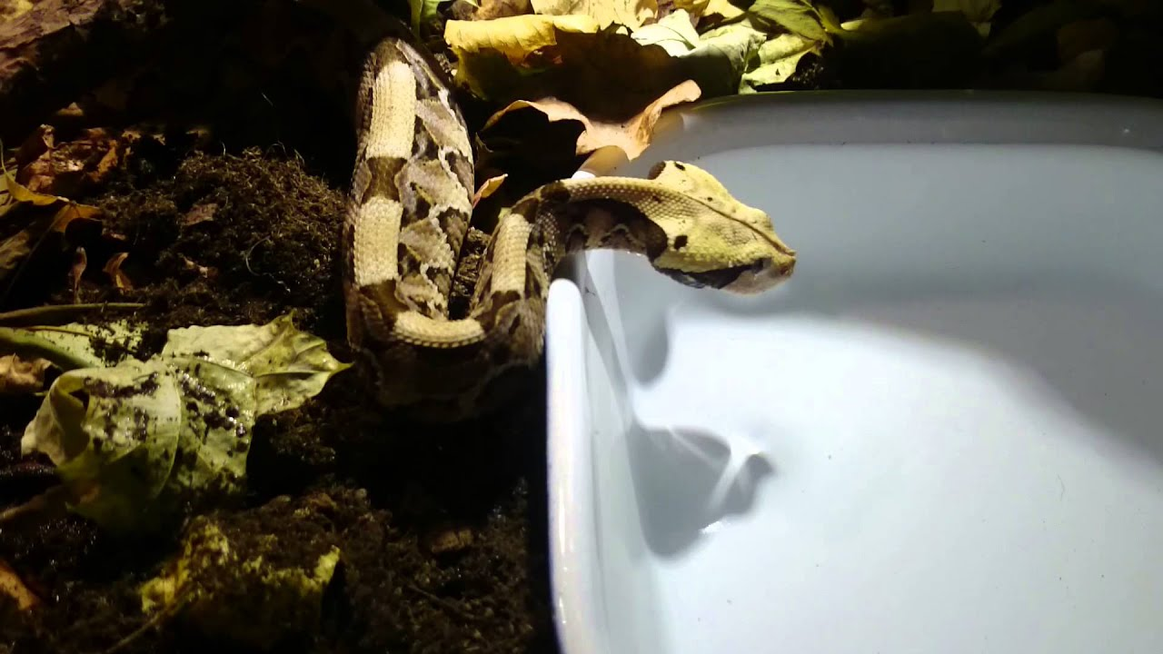 Baby Gaboon Viper
