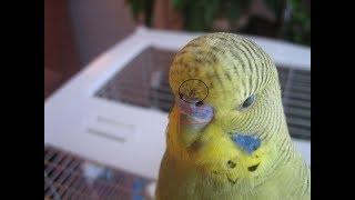 Что делать если у попугая или грызуна блохи