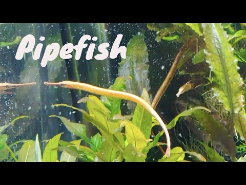 Freshwater Pipefish