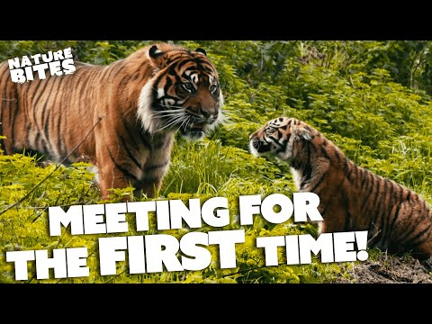 Download Tigers Have RARE Father Daughter Relationship   FOTA: Into the Wild   Nature Bites