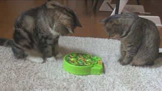 もぐらたたきとねこ。-A mole game and Maru&Hana.-