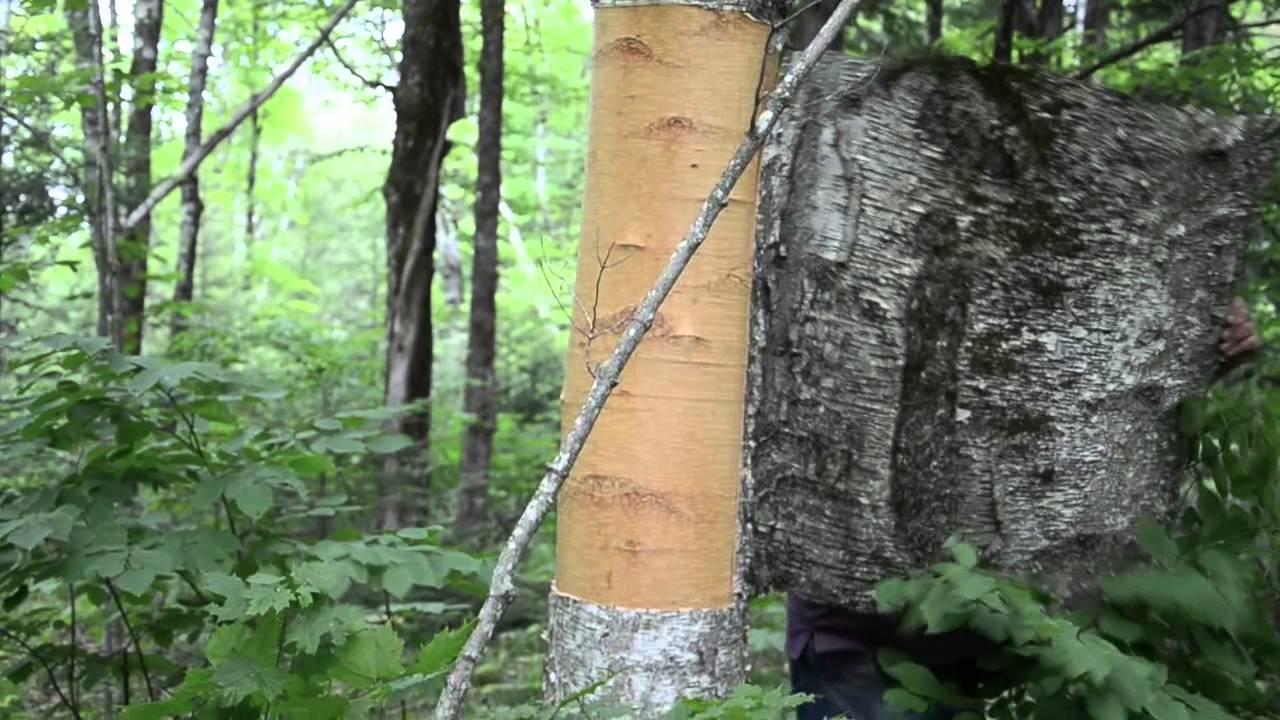 Wayne Demonstrates Birch Bark Harvest
