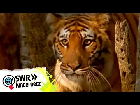 OLI bei den Tigern | OLIs Wilde Welt | Kindernetz