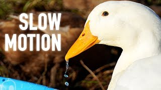 I Can't Stop Watching Slow-motion Ducks