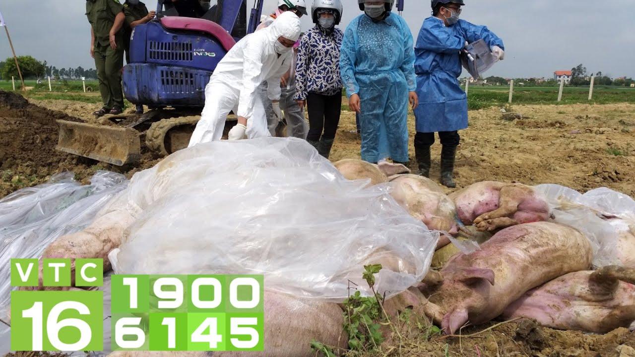 Dịch tả lợn Châu Phi tái bùng phát, dừng bán thịt lợn | VTC16