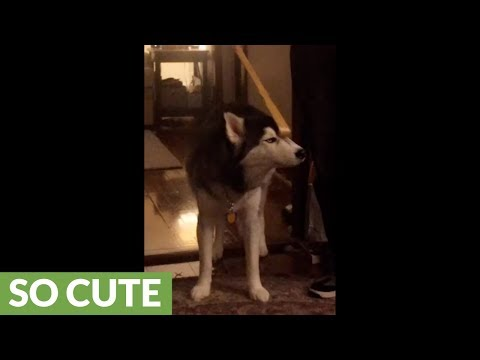 Husky thoroughly enjoys scratch from owner's back-scratcher tool