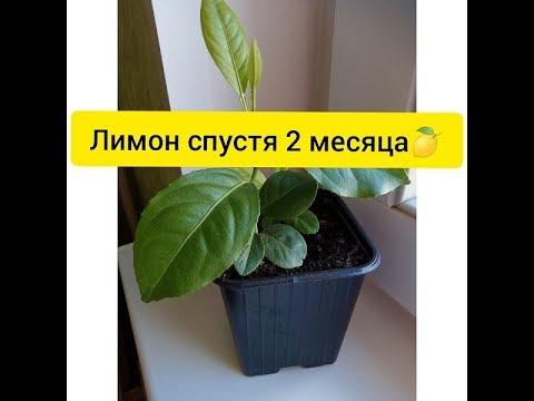 Лимон в домашних условиях 2 месяца спустя. Обзор.