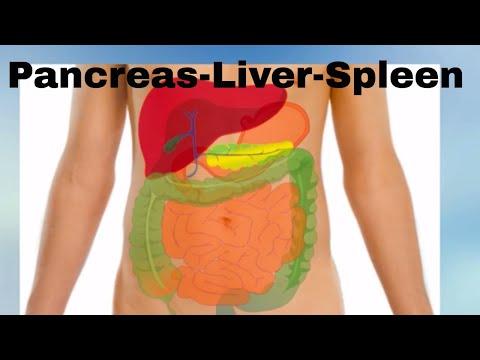 pancreas--liver--spleen--organs-of-the-human-body