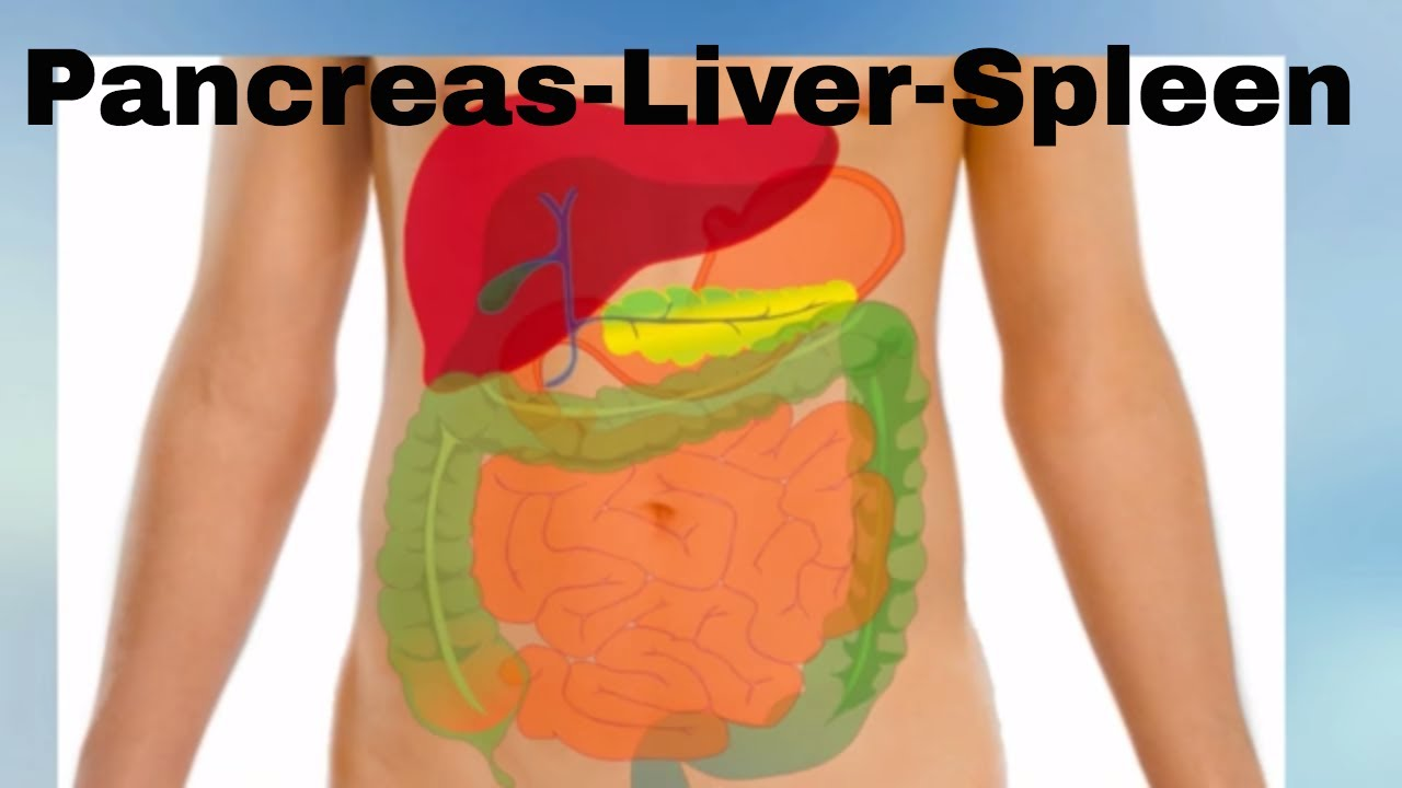 Pancreas Liver Spleen Organs Of The Human Body Youtube