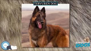 Tervuren dog  Everything Dog Breeds