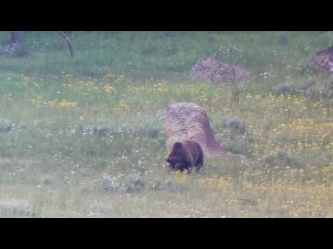 Grizzly in Hayden Valley. Yellowstone NP July 17th., 2017