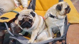 МОПСЫ СЕНЯ И ТРЁШКА на Выставке собак.Pug Senya And Treshka on Dog Show.Odessa.