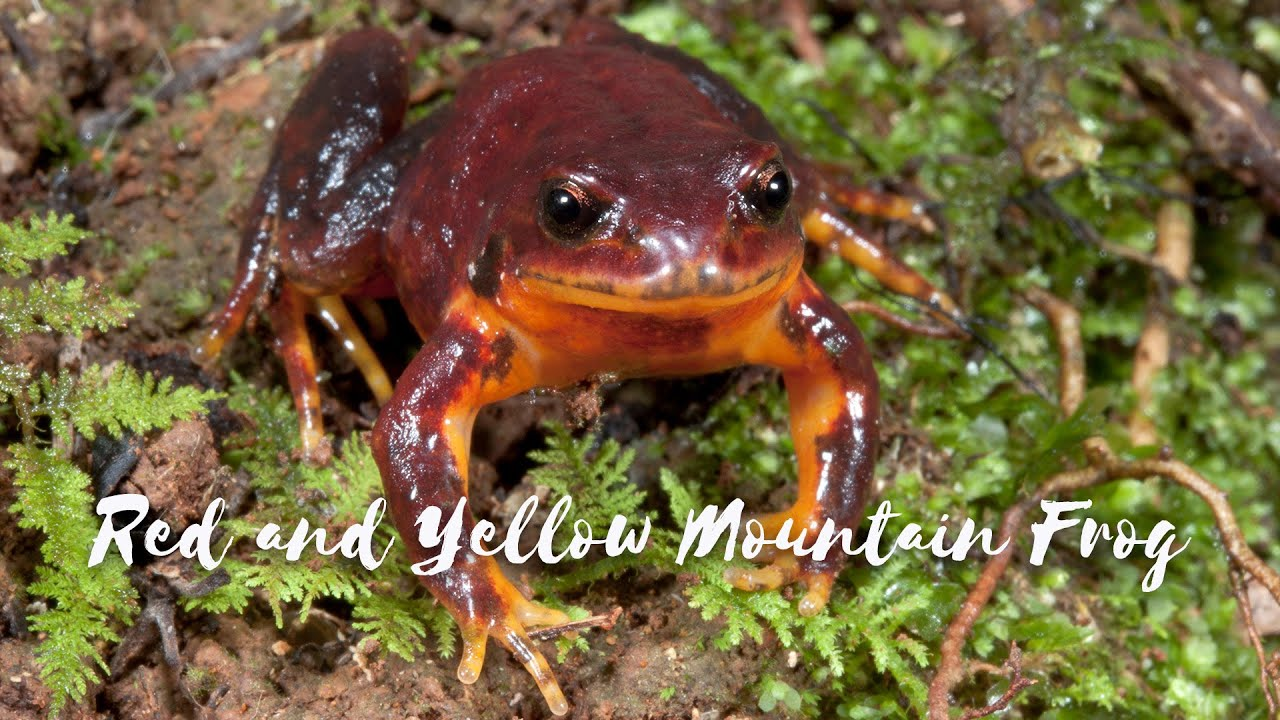 Download Back from the Brink - Season 1 Episode 1 - Red and Yellow Mountain Frog