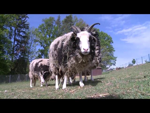 Nejmenší plemeno ovcí na světě