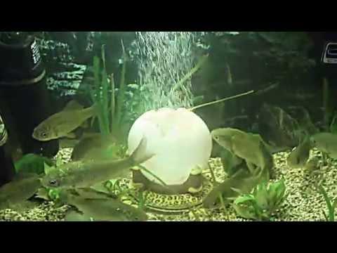 содержание карася в аквариуме видео