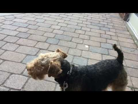 Welsh Terrier at Mardi Gras - Party Animal?