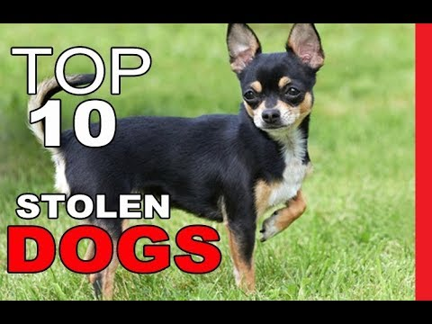 top-10-most-commonly-stolen-dog-breeds