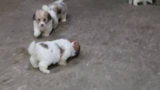 We have a great selection of Havachon puppies for sale. Visit our w...