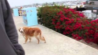 Собака выгуливает сама себя =)