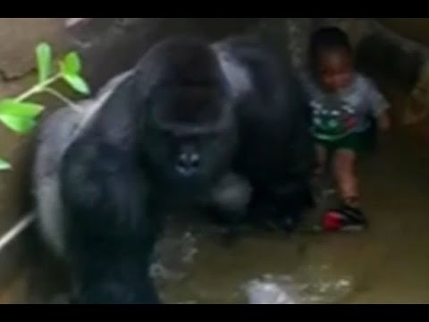Black Child Falls Into Gorilla Enclosure At Cincinnati Zoo Amp Dad S Criminal History Brought Up Youtube