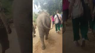 태국 코끼리 꼬리 힘 | Elephant tail po…