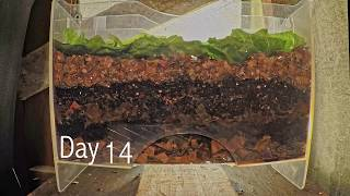 Layered worm bin 8-week time-lapse - FAST PLAYBACK - vermicomposting