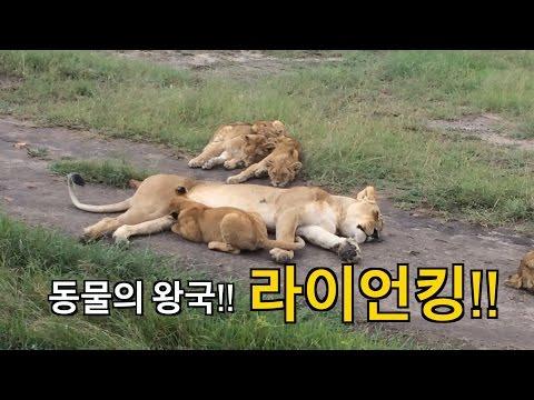 [World Travel - Kenya] 라이언 킹!!! 사자의 실체를 드디어!!!!