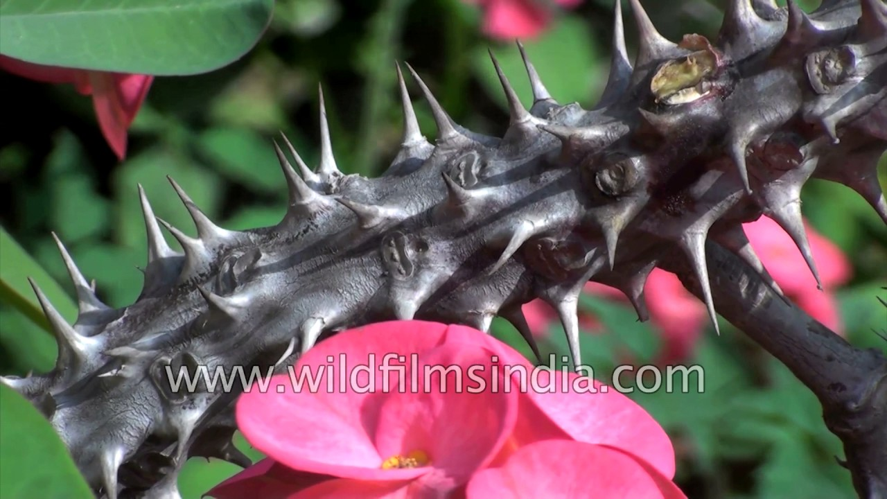 Euphorbia milii christ plant or crown of thorns youtube euphorbia milii christ plant or crown of thorns mightylinksfo