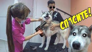 ИСТЕРИКА У ХАСКИ / hysterics husky