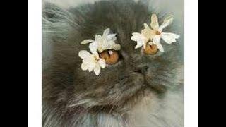 продолжительность жизни персидских кошек