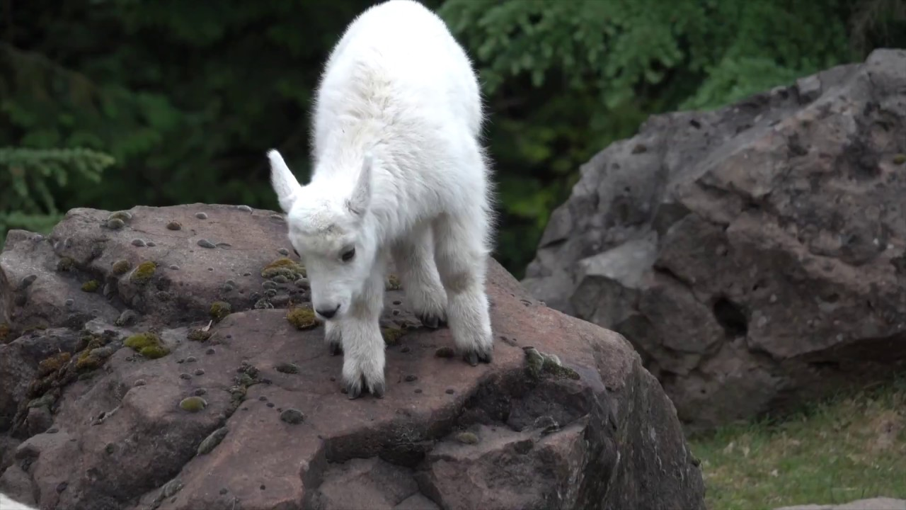 Baby Mountain Goat Learns to Climb - YouTube  Baby Mountain G...