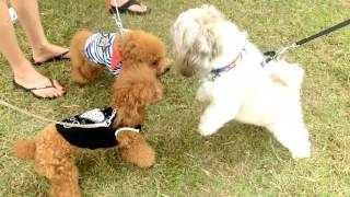 Amber Toy Poodle - Pets Corner Event 2013