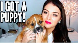 Meet Winston! Australian Bulldog Puppy!