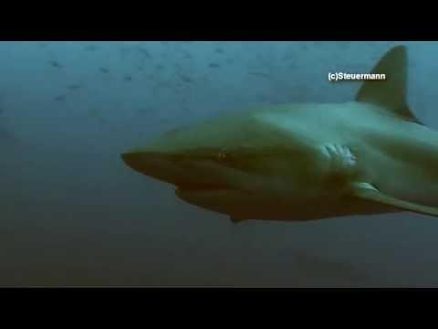 Galapagos Shark - Carcharhinus galapagensis