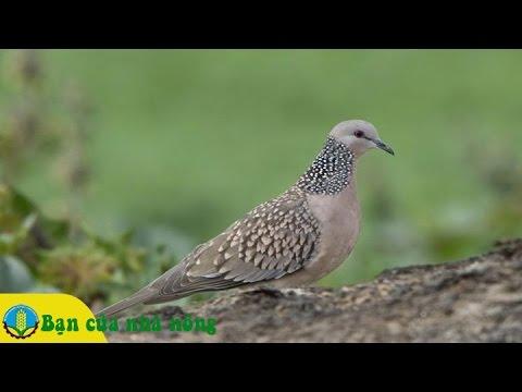 Kỹ thuật cơ bản trong chăm sóc và huấn luyện Chim Cu gáy