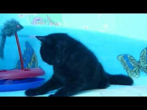 Экзотическая кошка имеет огромные сходства со своим предком (персом), из -за чего эту кошку могут называть перс-экзот. Однако, кот экзот имеет значительные отличия от перса. Чтобы вы более ясно понимали, в чём заключаются особенности данной породы, предлагаем вашему вниманию стандарт.