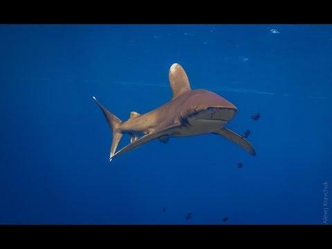 Нападение акул на дайверов или правильное поведение с акулами