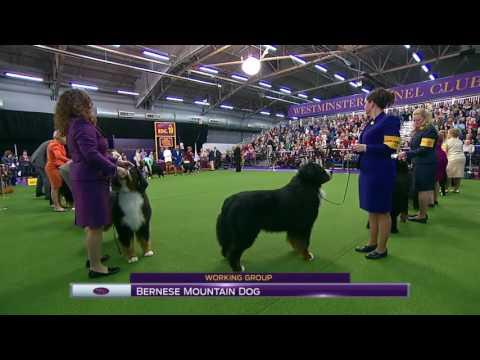 Westminster 2017 - Bernese mountain dog