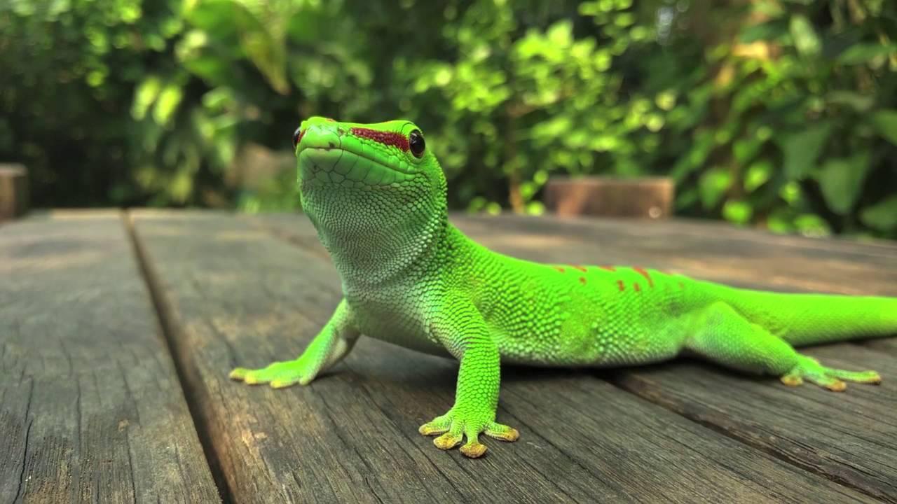 Madagascar giant day gecko hunts and eats house cricket. - YouTube