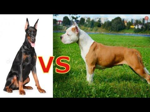 какая собака сильнее Доберман или Ам Стафф ??? правда которую нужна знать