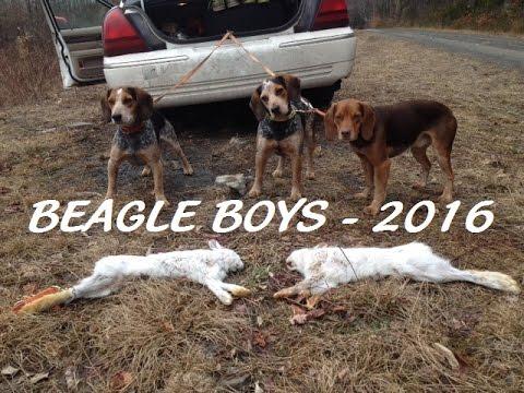 2 Hares - 2 Kill Shots (Beagle Boys Rabbit Hunting - 2016)