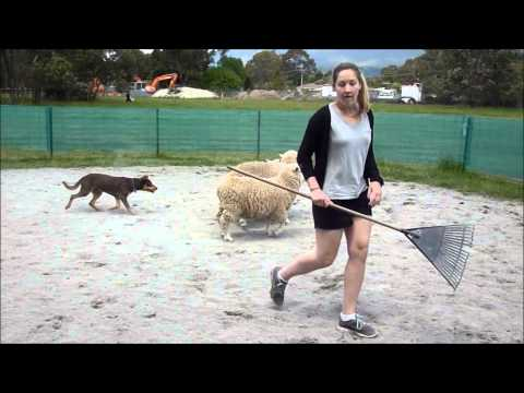Herding Dog Training Mn