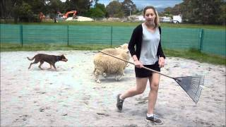 Rhiannon And Kelpie Gus At Herding Dog Training