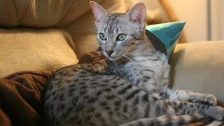Египетская Мау, Породы Кошек, описание, уход