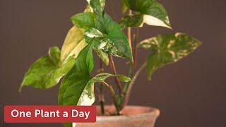 Syngonium podophyllum albo-variegatum (Variegated Arrowhead Vine) Houseplant Care — 21 of 365