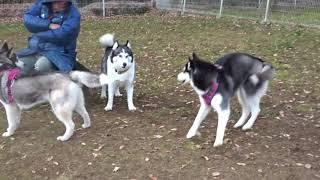 初対面のブラック×ホワイトのシベリアンハスキーの8ヵ月違い姉弟 ドッグ...